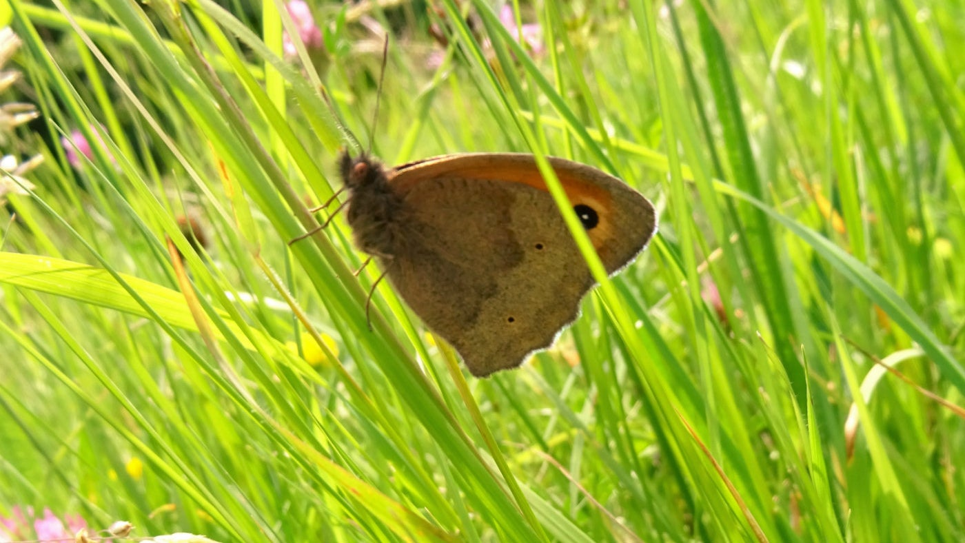 A meadow brown butterfly at Bradley Manor