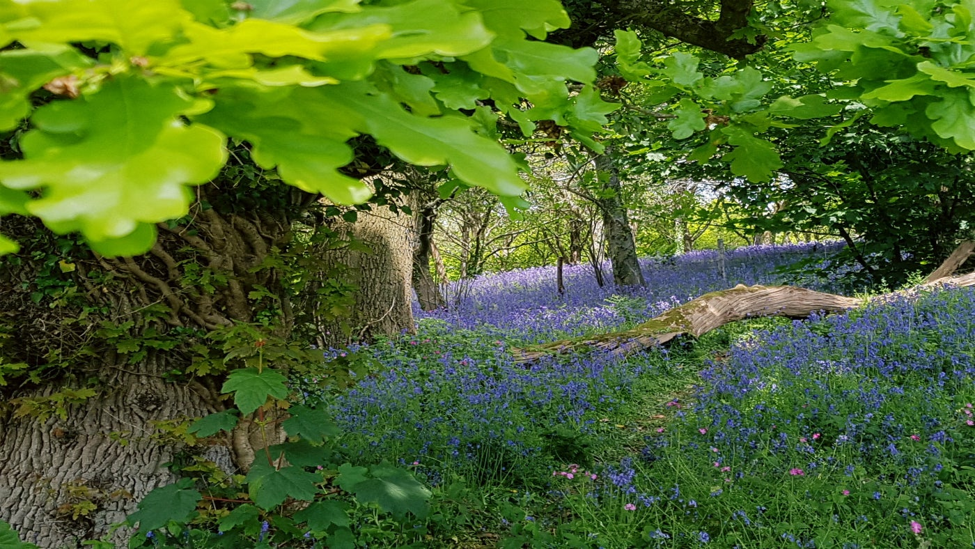bluebells thrive in areas of parkland restored by the National Trust
