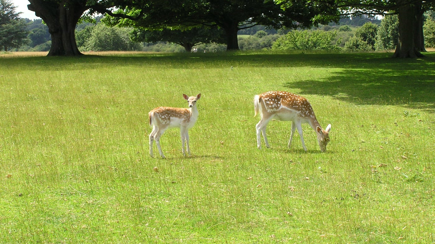 A doe and her fawn grazing in Knole Park