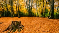 Golden beech leaves carpet the floor of Borthwood Copse