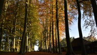Beech Allee in autumn