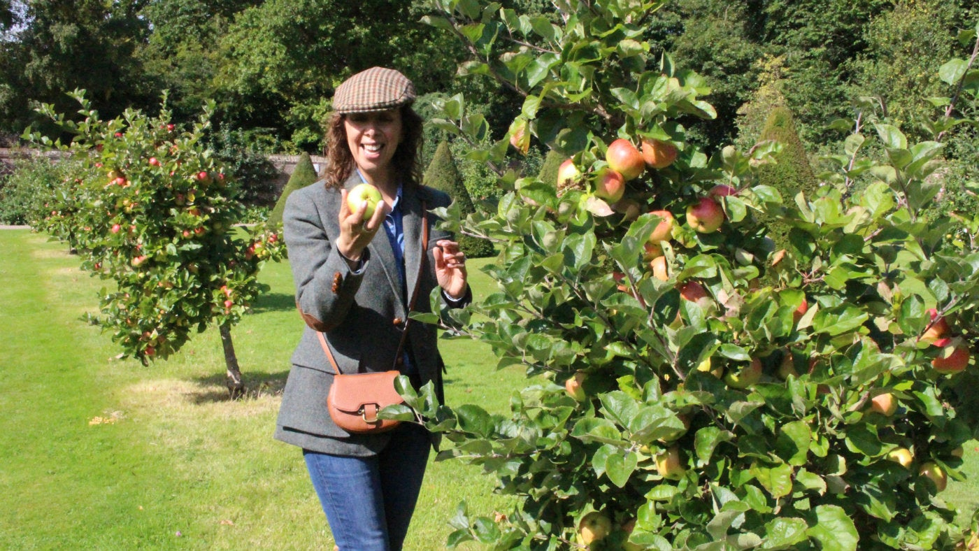 A visitor takes a closer look at a windfall apple in Erddig's orchard
