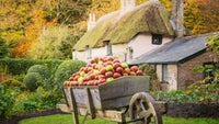 A barrow full of ripe apples in front of the thatched cottage