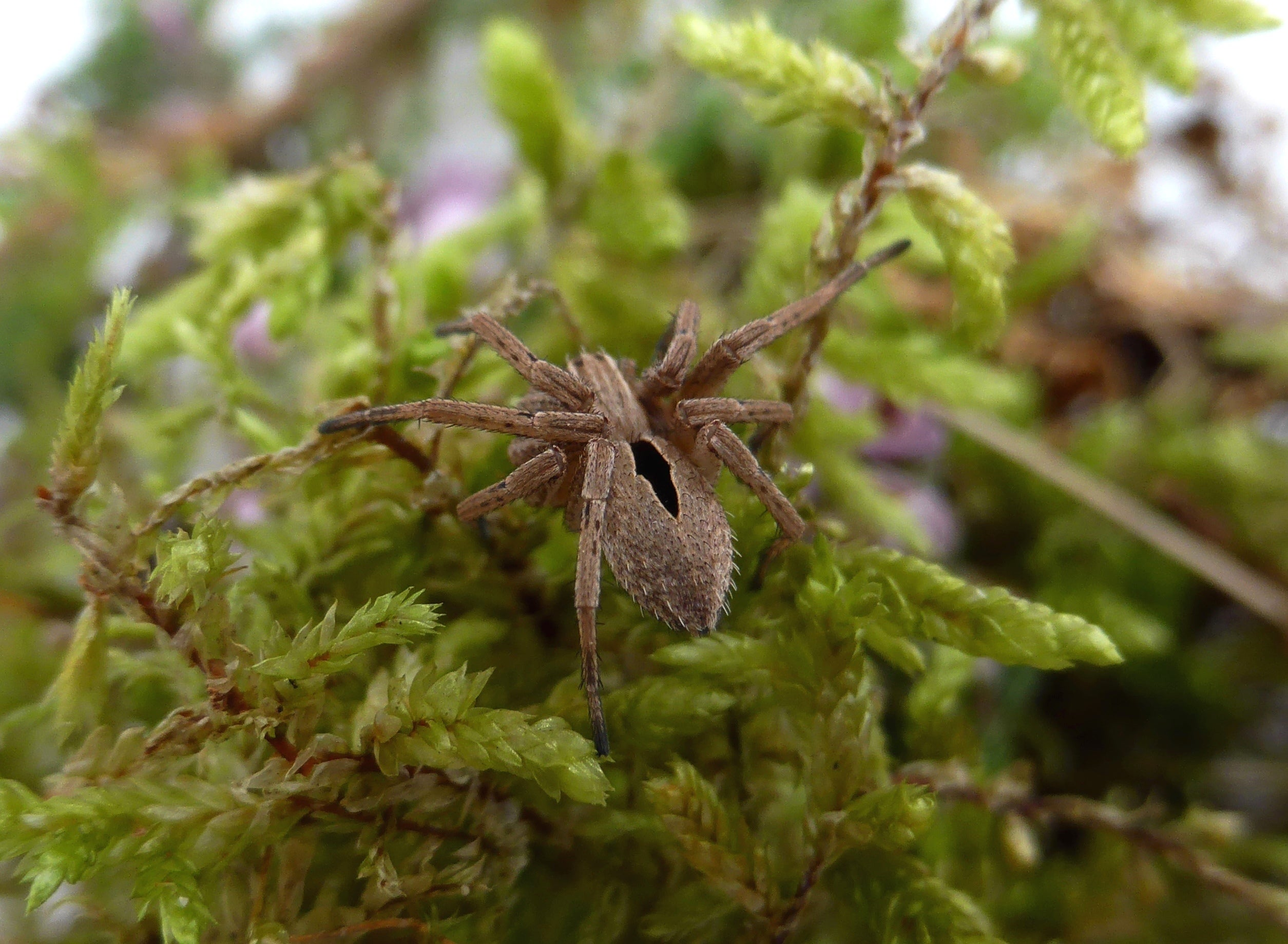 Rare spider presumed extinct discovered for the first time ...