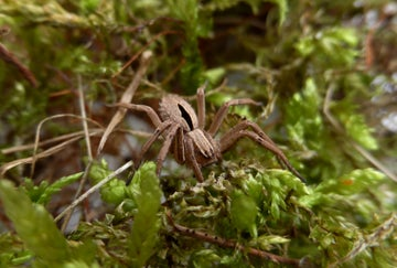 This rare species of spider hasn't been seen for over 50 years in the UK.