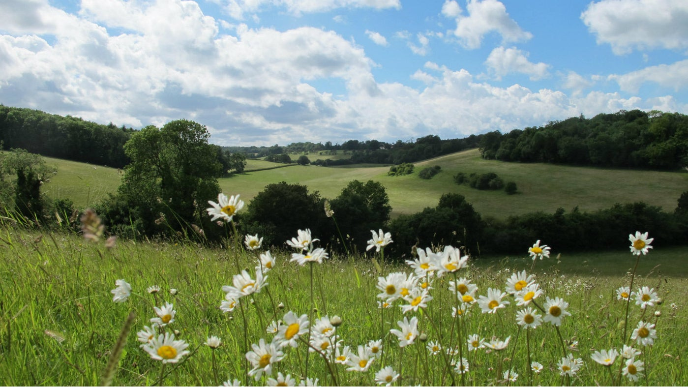 A close up of daisies, with a view of Ranmore Common in the background