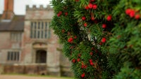 Berries are on the yew trees on the approach to the house