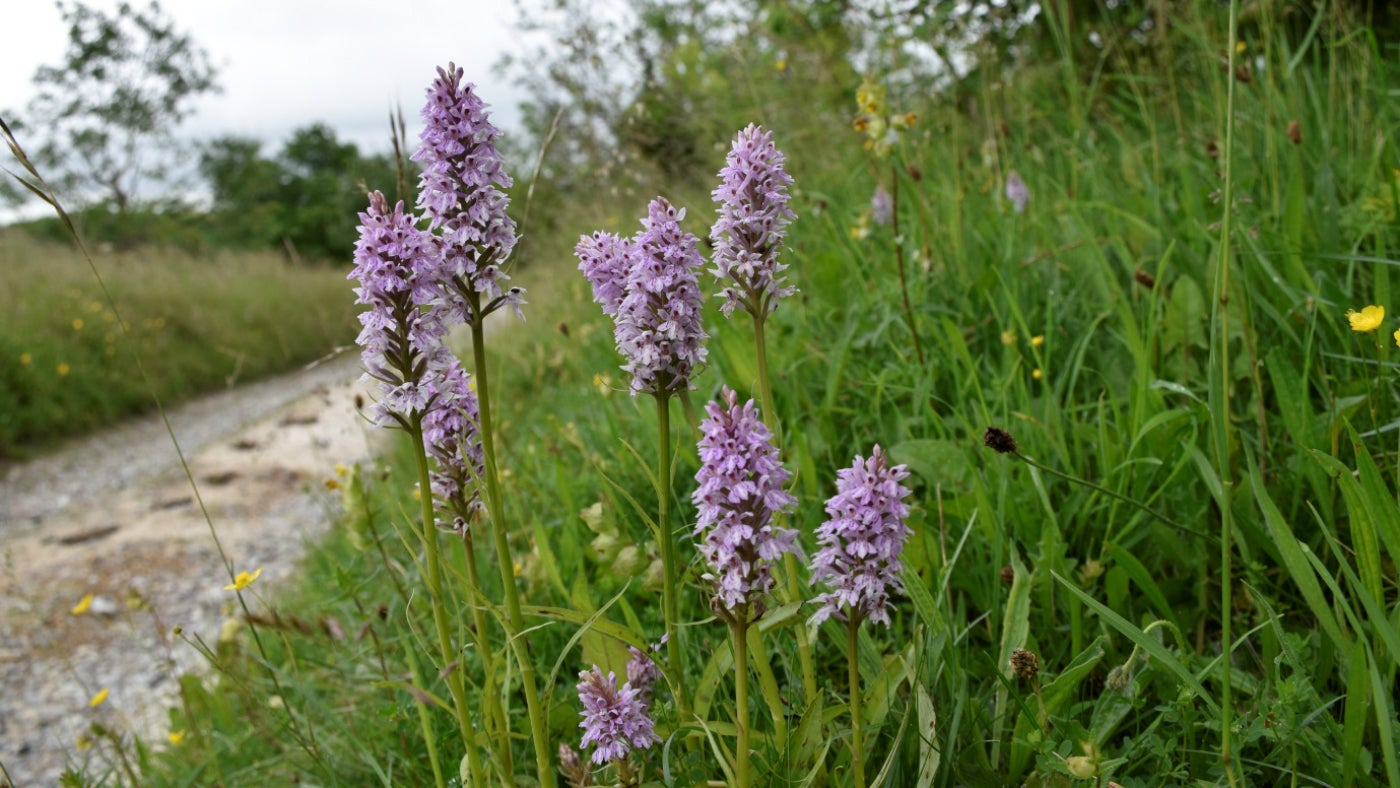 Common Spotted Orchids in May on the Ox drove bank
