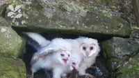 Barn owls shown at their nesting site at Lindisfarne Castle