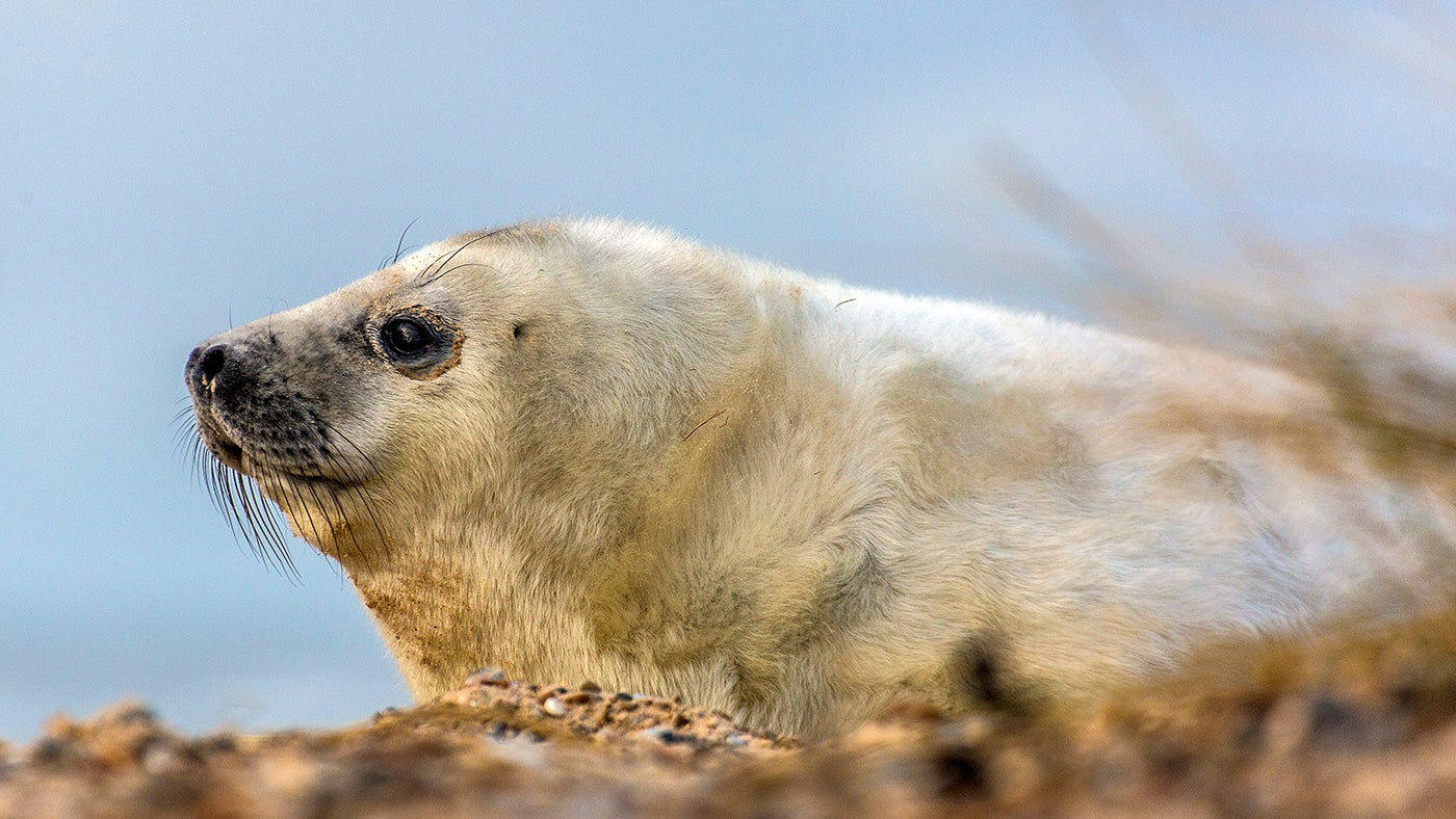 a white seal pup sits on shingle with the blue sky behind