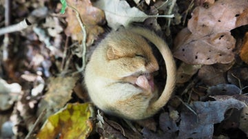 Sleeping dormouse at Cotehele