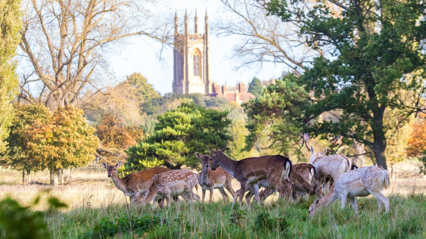 Fallow deer at Charlecote Park in autumn with church in background