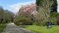 Magnolia campbellii in bloom on the Drive at Trengwainton Garden