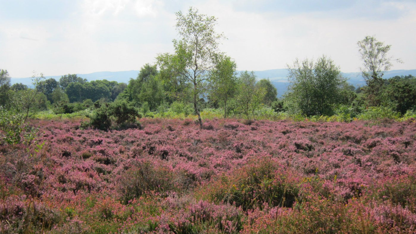 Heather in full bloom on Woolbeding Commoon