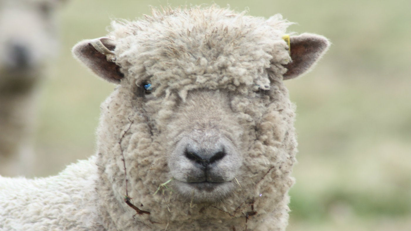 Southdown Sheep   National Trust