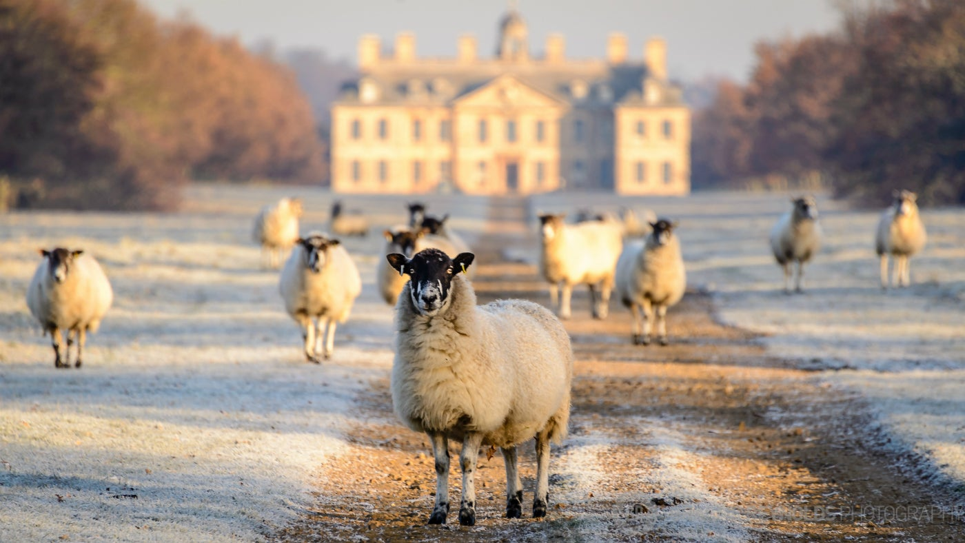 Sheep in the frost at Belton House