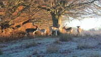 A chilly morning for the deer at Knole