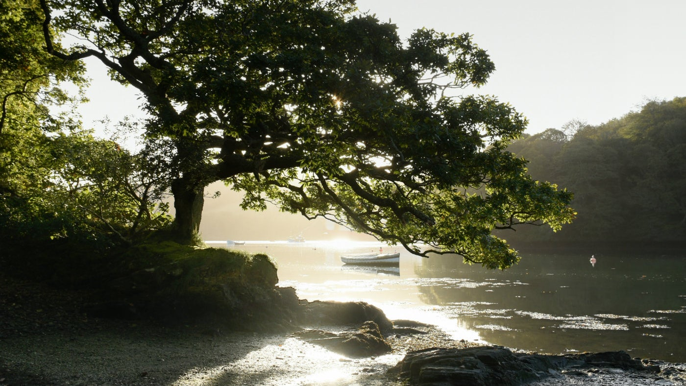 A sessile oak on Lamouth Creek at Trelissick, Cornwall