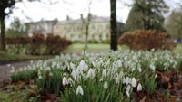 Snowdrops in the grounds of Arlington Court