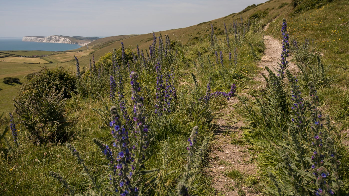 Purple heads of viper's bugloss line a path up Compton Down
