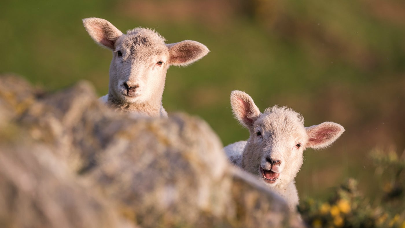 Spring lambs at Morte Point