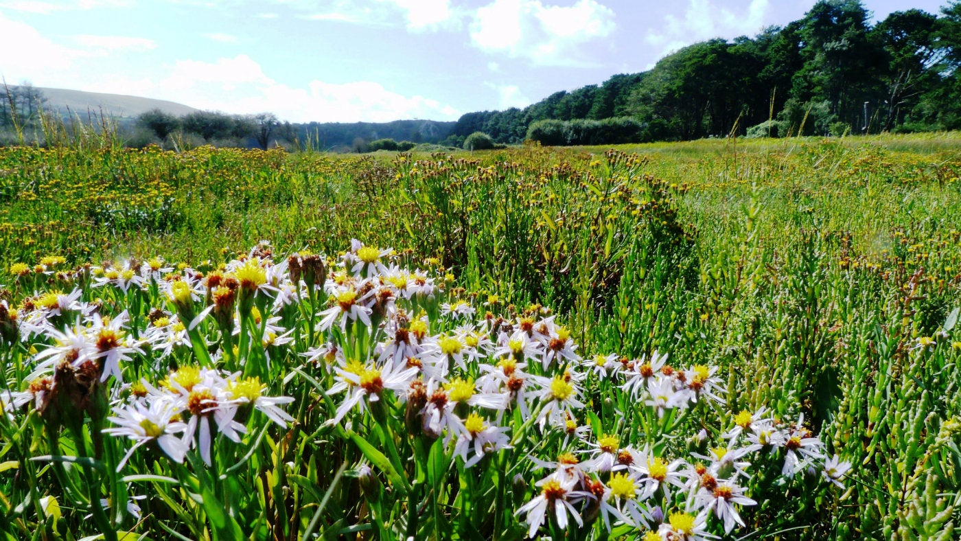 Sea aster in bloom at Cwm Ivy marsh, Gower