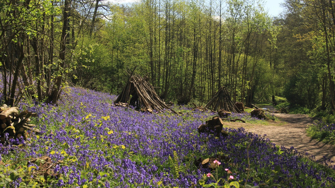 Bluebells in the woodland around Emmetts Garden and Toys Hill, National Trust places in Kent