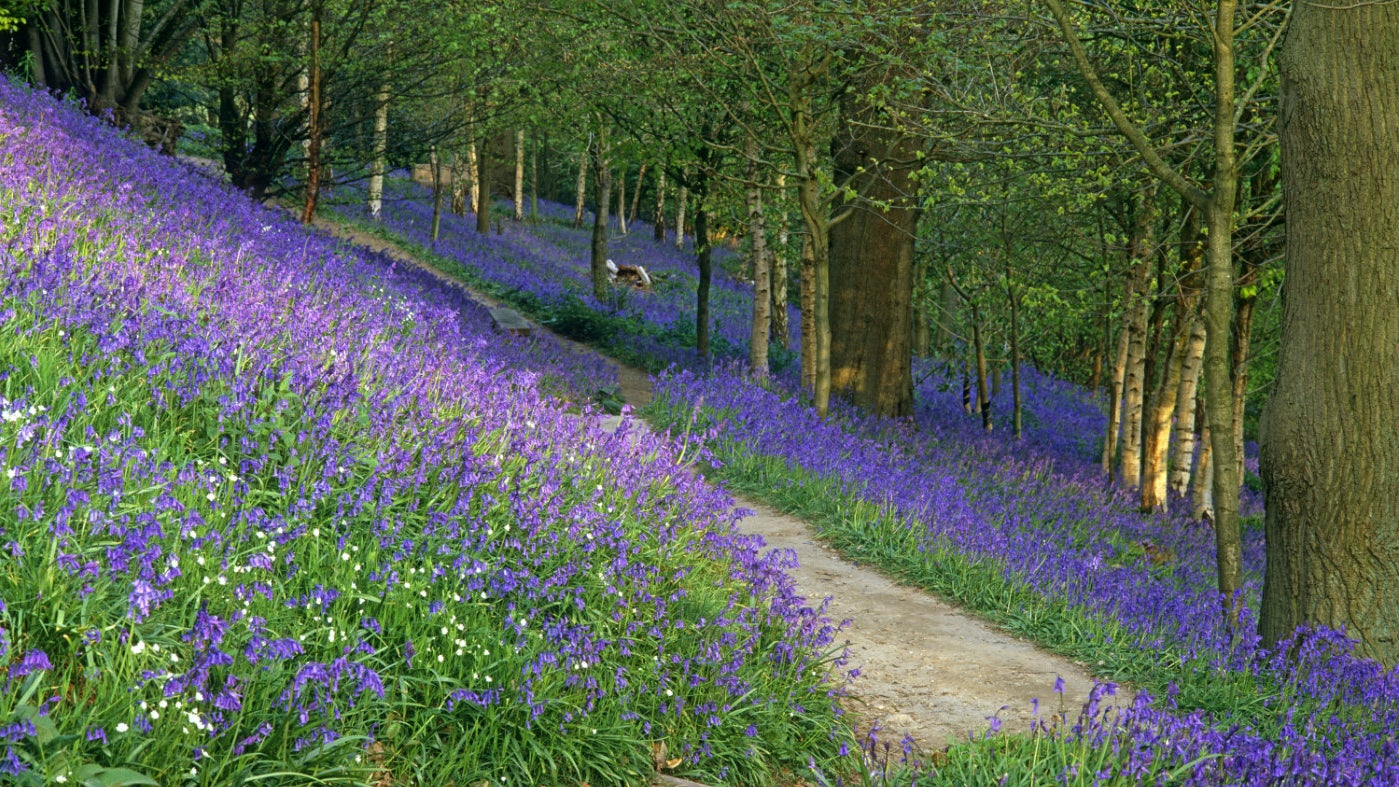 The bluebell woods at Emmetts Garden, a National Trust property in Kent