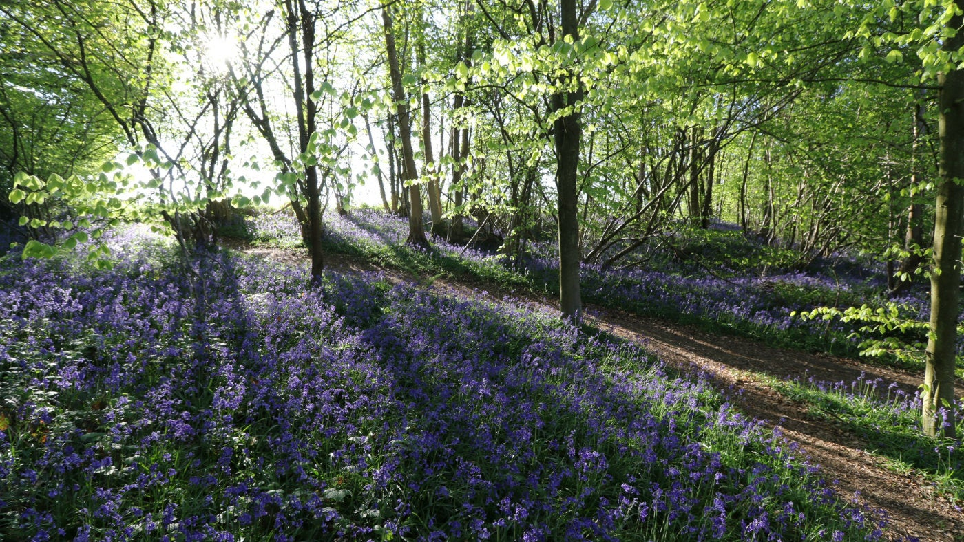 Sunlight hits the bluebells at Mariners Hill, part of the Chartwell estate owned by the National Trust in Kent