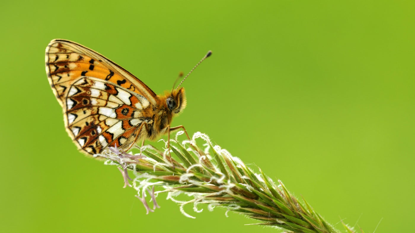A small pearl-bordered fritillary butterfly