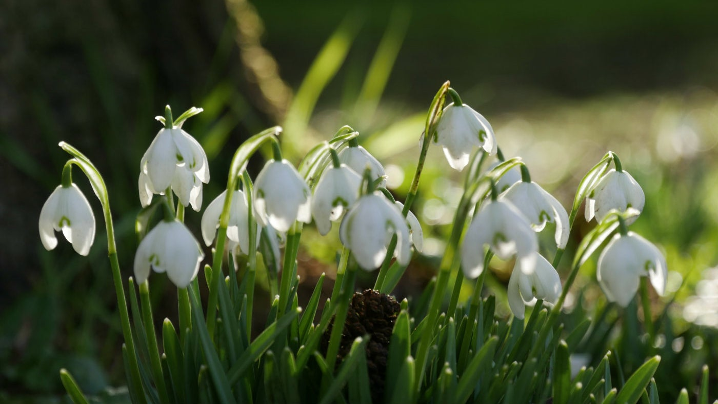 Snowdrops at Coughton