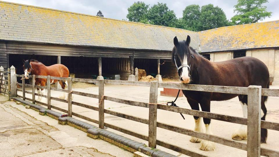 Two shire horses in a farmyard at Wimpole Home Farm