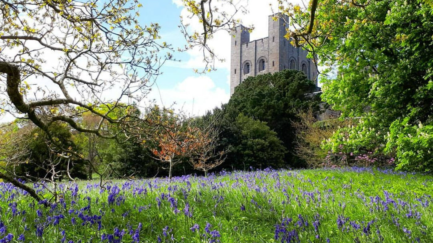 Beautiful bluebells carpet the grounds in front of Penrhyn Castle