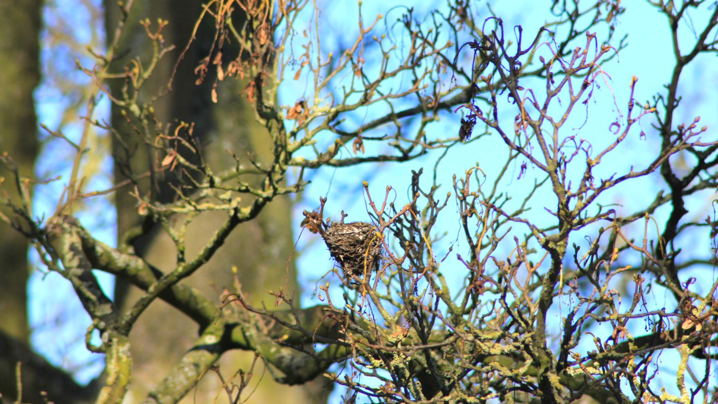 Nest in Tattershall Castle trees