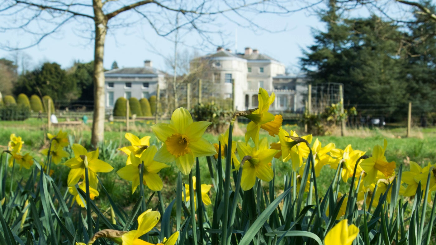 Daffodils in front of Shugborough