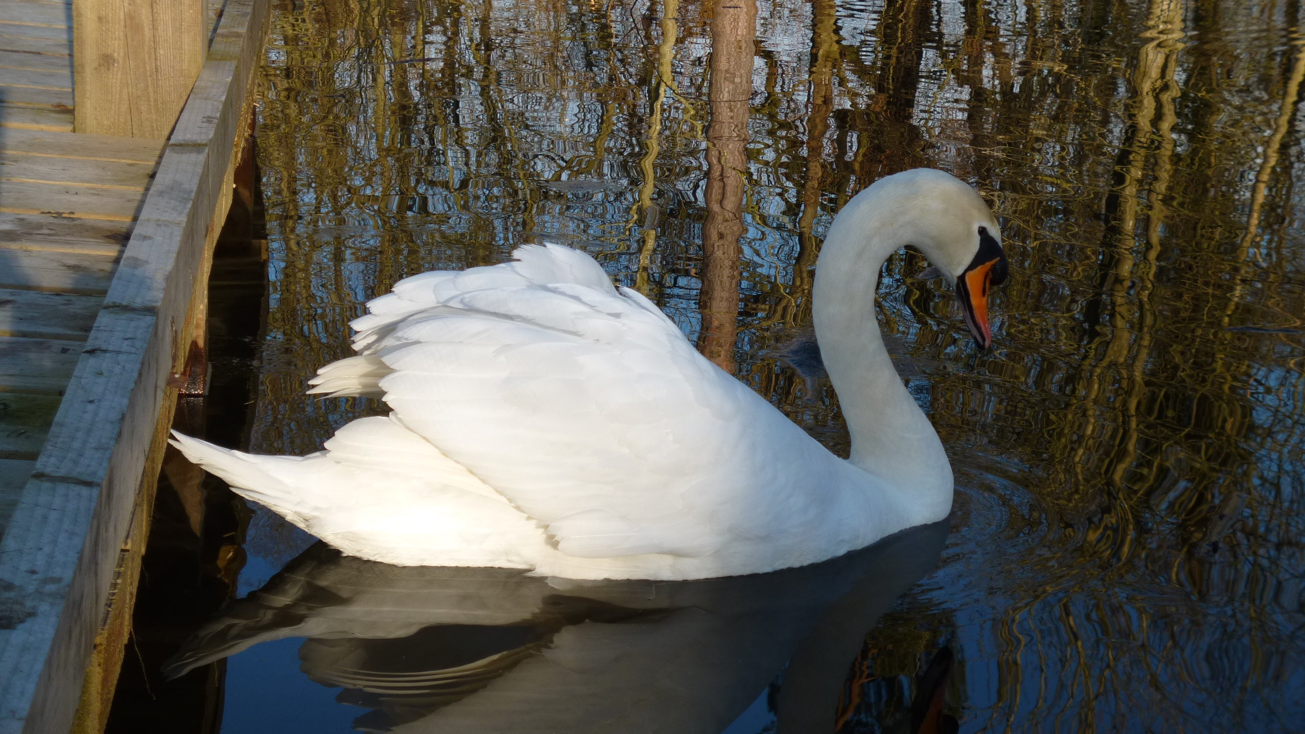A swan in the Decoy lake, with a background of reflected trees