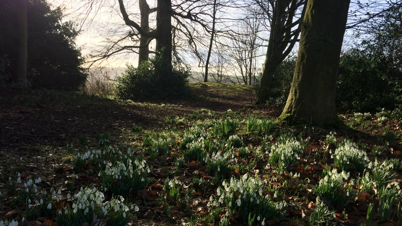 A carpet of white snowdrops on the ground and bare trees in the distance