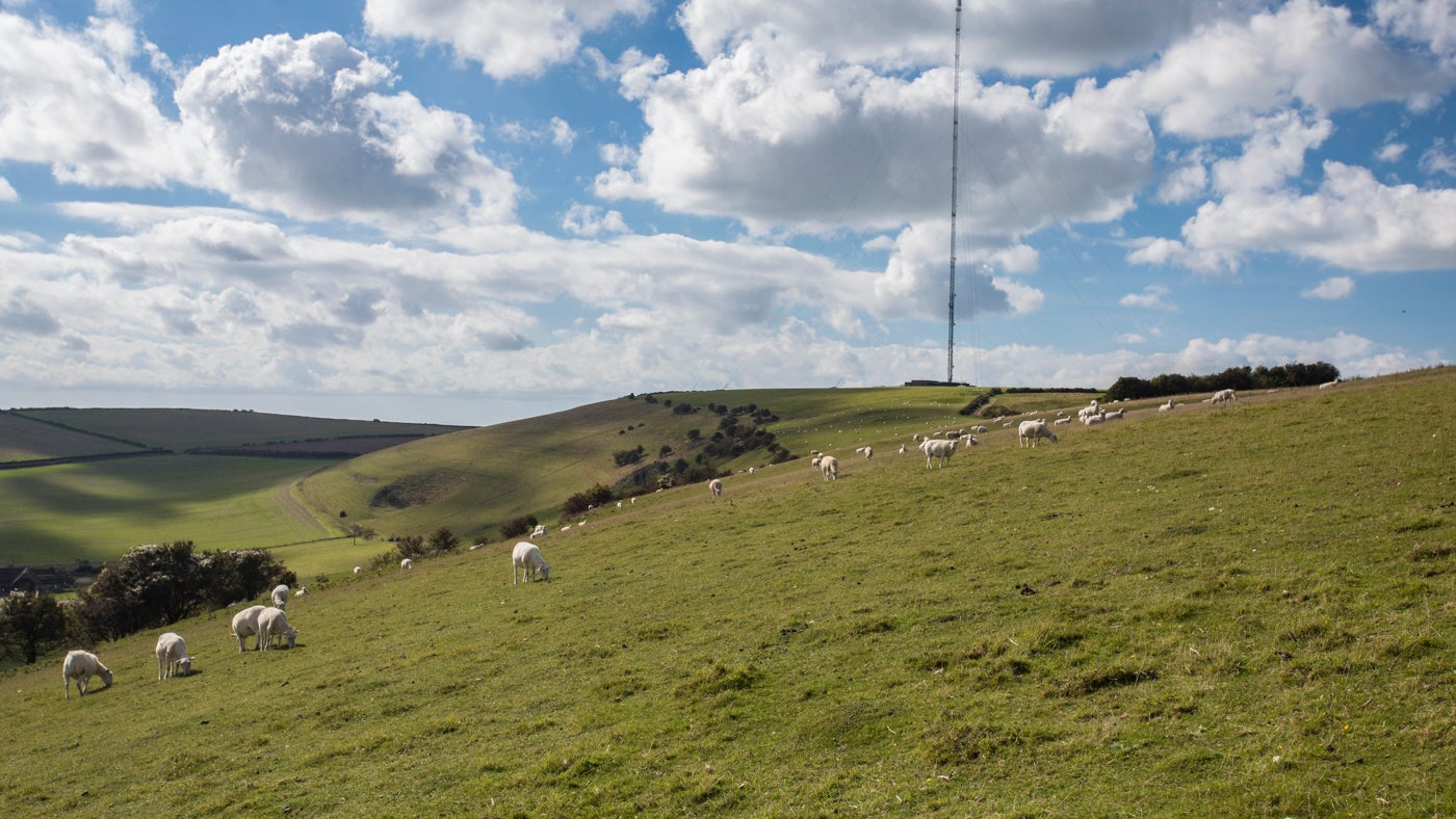 Sheep quietly grazing on Chillerton Down