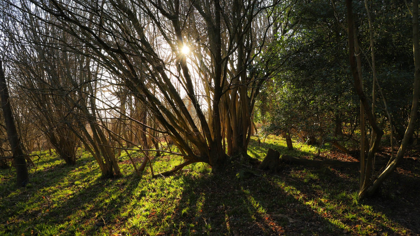 Sunlight through the trees at Toys Hill, a National Trust countryside site in Kent