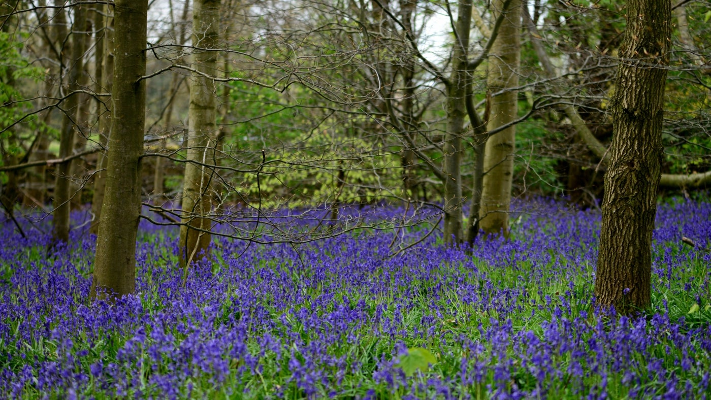 Bluebells in Serpentine Wood at Calke Abbey, Derbyshire