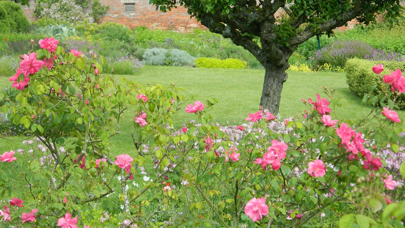 Rose buds blooming at Croft Castle in Herefordshire