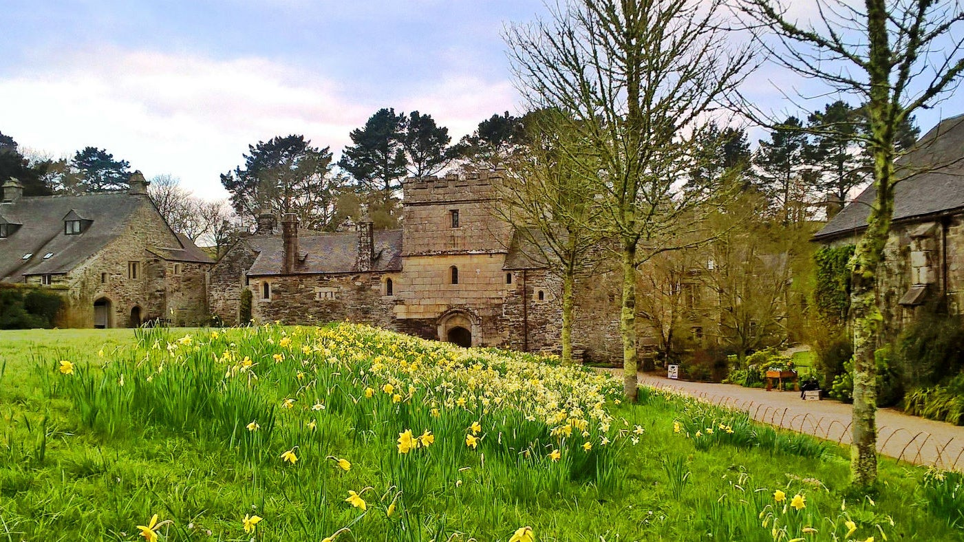 The approach to Cotehele house with daffodils flowering in the grass