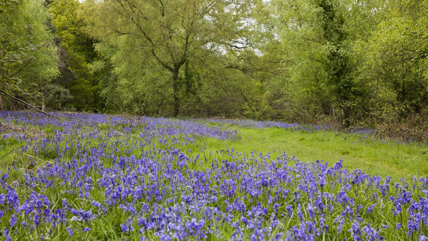 A carpet of bluebells at Clumber