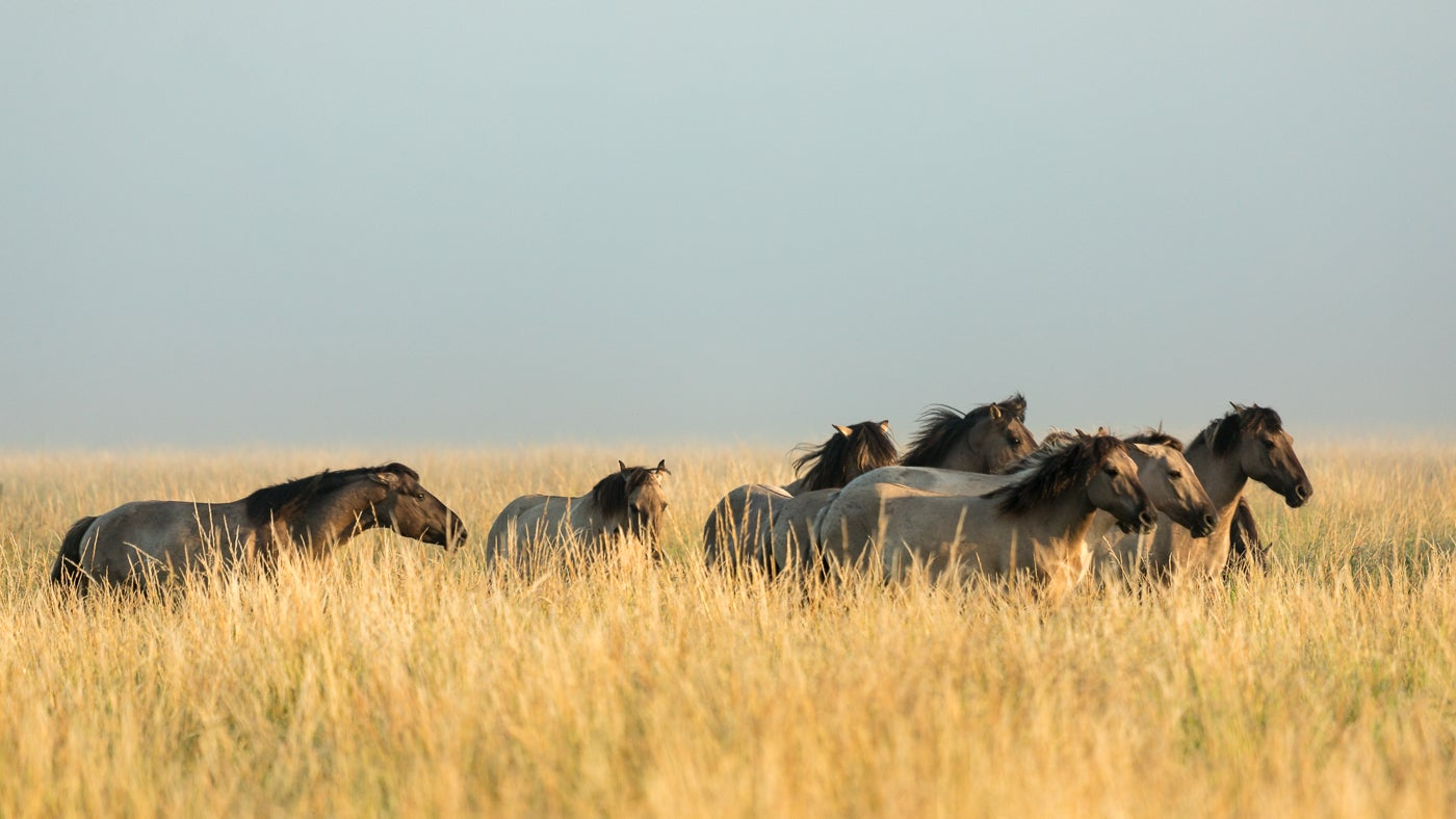The grazing herd of konik ponies at Wicken Fen