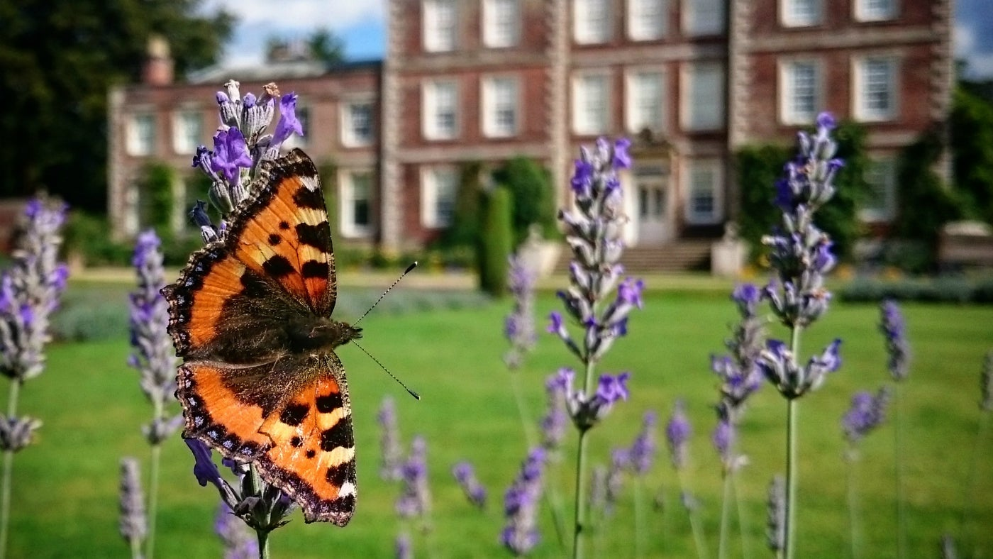 Small Tortoiseshell butterfly on lavender at Gunby