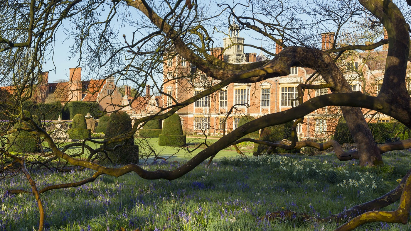 The twisted branches of the oriental plane tree and bluebells at Blickling.