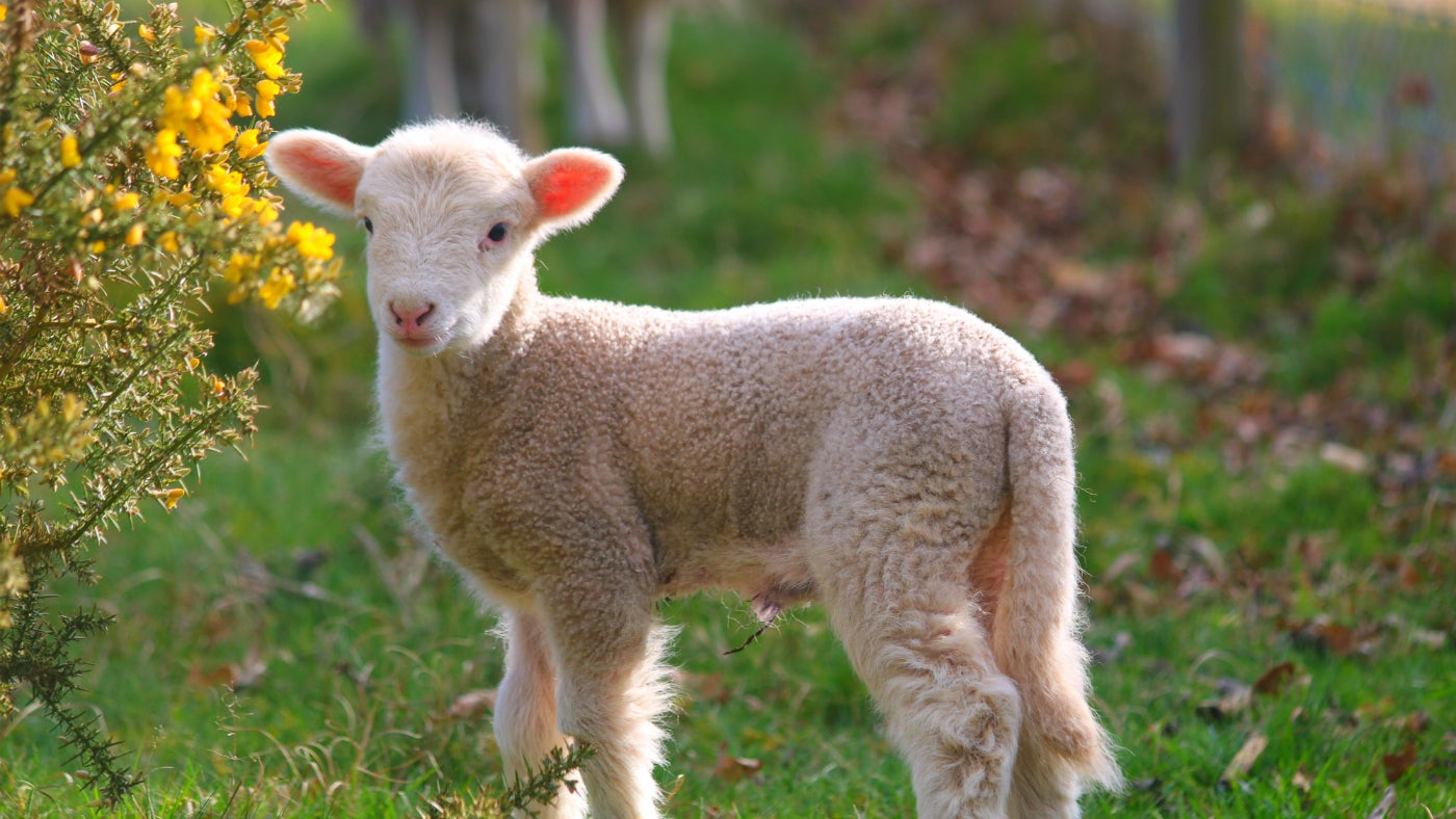 White Faced Woodland lamb