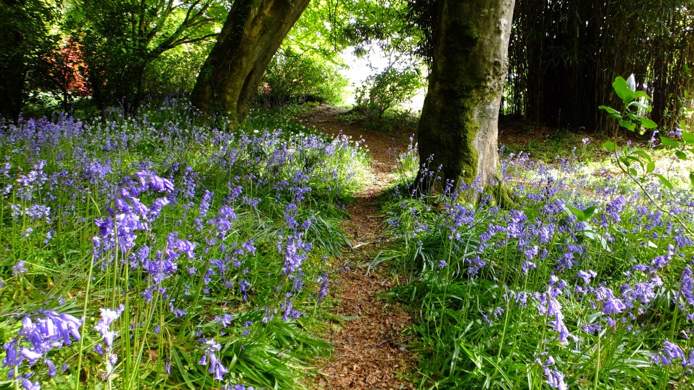 Bluebells beneath the trees at Trengwainton Garden, Cornwall