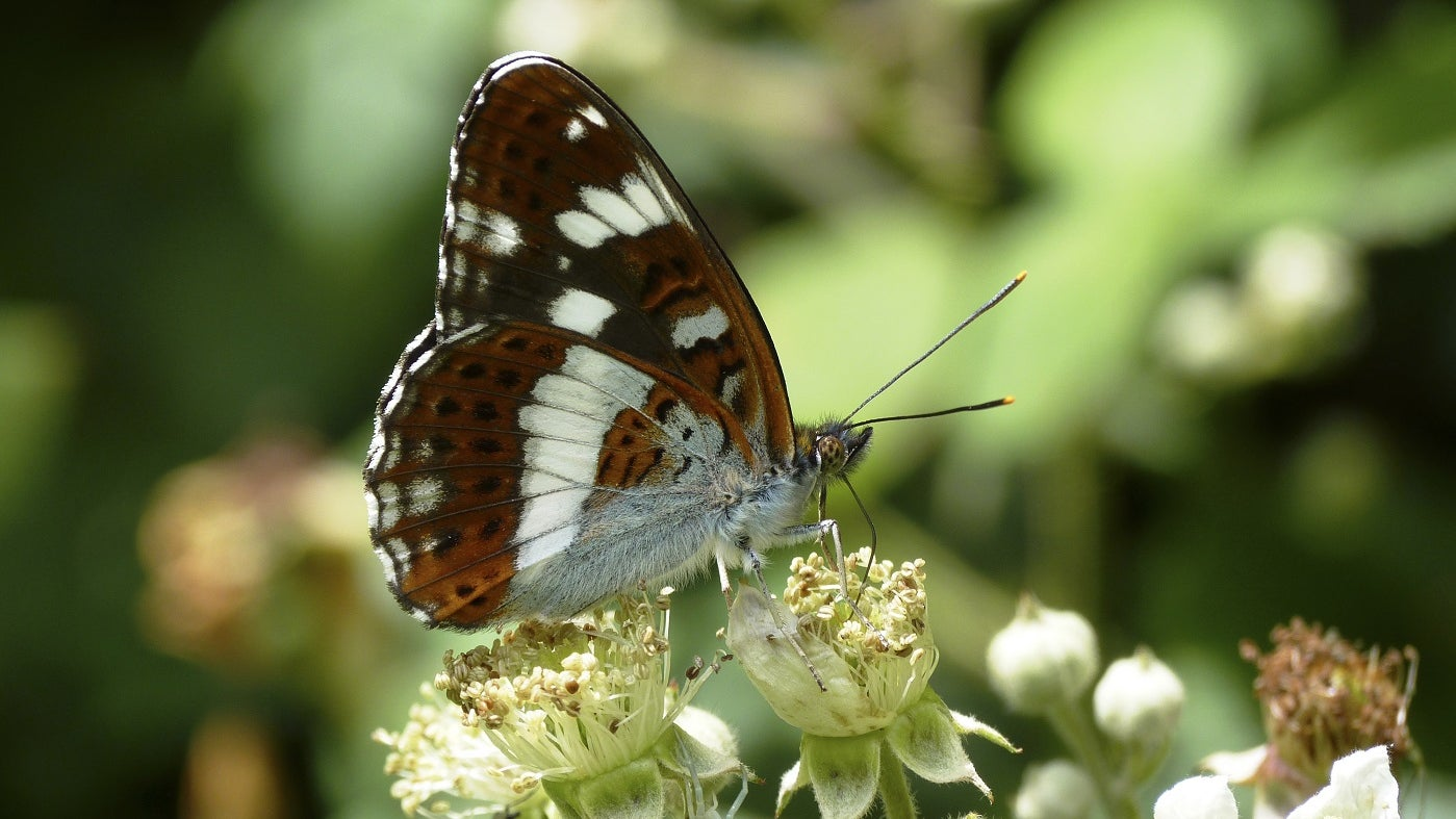 White admiral butterfly Dudmaston