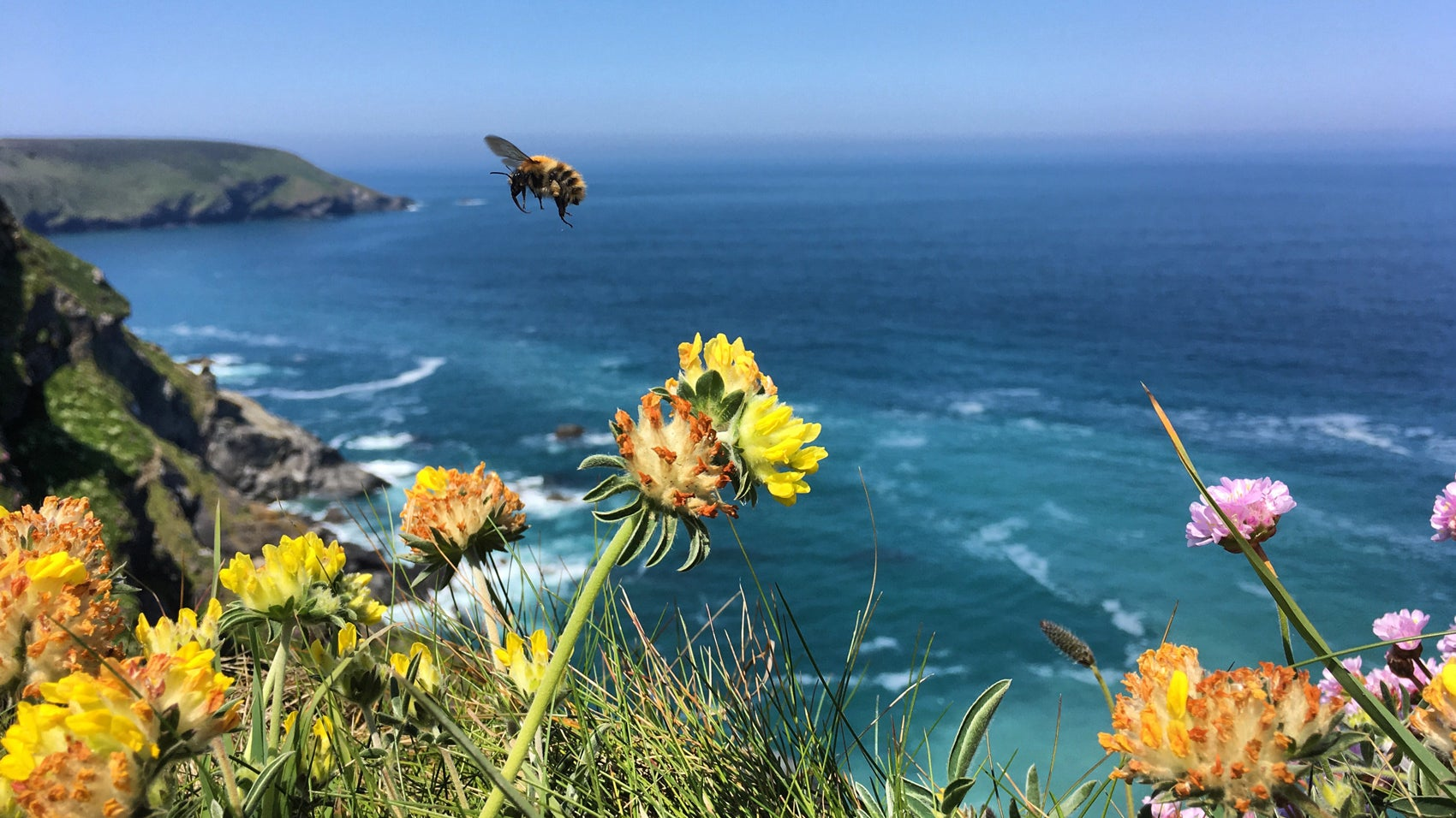 Common carder bee at Hell's Mouth near Godrevy